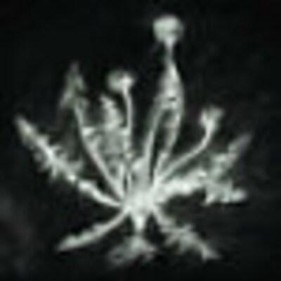 taraxacumcrown