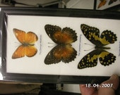 Three Butterfly Collection