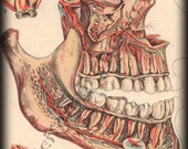 1912 Vintage Anatomical Teeth and Skull Lithograph Illustration