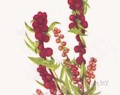 Strawberry Blite Wild Ginger Flowers Vintage 1955 Botanical Herbal Lithograph Art  Print To Frame 100