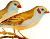 Cordon Blue Finch 1954 Mid Century Print Wild Bird Lithograph Illustration To Frame