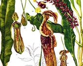 Pitcher Plant Carnivorous Flowers South East Asia Botanical Exotica Vintage Lithograph Illustration Print To Frame 111