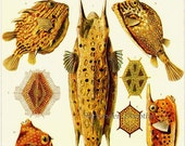 Puffer Fish Trunkfish Boxfish Haeckel Vintage Ichthyology Print Natural History Oceanography Victorian Scientific Lithograph To Frame