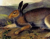 Polar Hare Audubon Wild Animal Natural History Lithograph Print To Frame