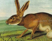 Texan Hare John J Audubon Wild Animal Natural History Lithograph Print To Frame
