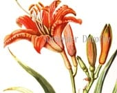 Daylily Flowers Botanical Print Cottage Wildflowers 1950s Perfect For Framing 21
