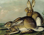 Townsend Rocky Mountain Hare Rabbit Audubon Naturalist Wild Animal Lithograph Print To Frame