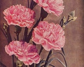 Pink Carnation Flowers Mother's Day Vintage1927 Original Roaring Twenties Tinted Photo Print Illustration For Framing