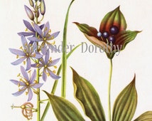 Wild Hyacinth & Indian Cucumber-root Flower Vintage Botanical Lithograph 1950s Print To Frame 14