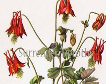 Wild Columbine Flowers Botanical Print 1950s Vintage Wildflowers To Frame 58
