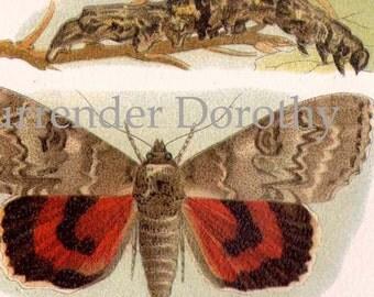 Silk Moth Metamorphosis Chart Vintage Victorian Entomology  1887 Natural History Chromolithograph To Frame
