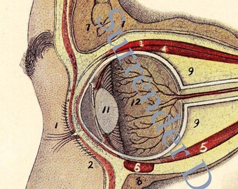 Human Anatomy Eye Lithograph 1920s Medical  Illustration Four Views To Frame