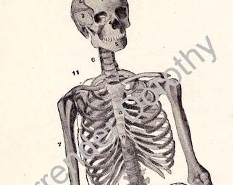 Skeleton Man Human Anatomy Chart Skeletal System Medical Illustration To Frame 1920s