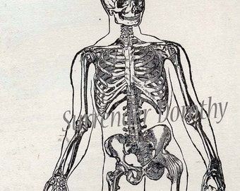 Skeleton Man Anterior View Antique Human Anatomy Edwardian Medical Chart To Frame 1908