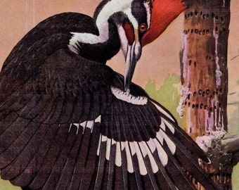 Pileated Woodpecker Sapsucker Bird Ornithology Louis Agessiz Fuertes Vintage Natural History Lithograph Print To Frame