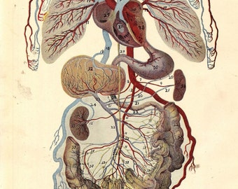 Vintage Human Anatomy Circulatory System 1920s Original Vintage Medical Chart For Framing