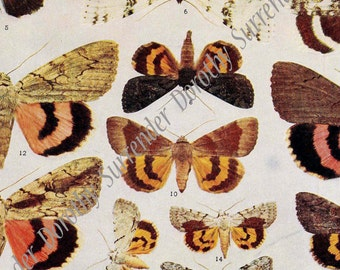 Catocala Moth Coral Taupe Brown XXXII Vintage Edwardian 1907 Natural History Rotogravure Illustration