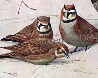 Horned Lark North American Song Birds 1955 Louis Agessiz Fuertes Vintage Natural History Color Illustrations