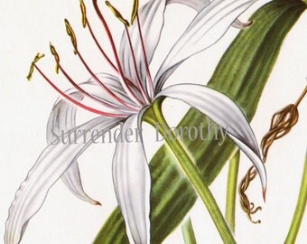 White Crinum Lily Flower Vintage Botanical Print 1950s Wildflower To Frame 30