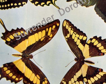 Papilio Swallowtail Butterfly Vintage Entomology 1900 Antique Rotogravure Illustration To Frame XLII