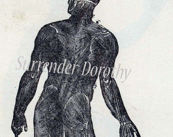 Muscular System Human Anatomy Posterior View Man 1906 Original Vintage Medical Chart To Frame