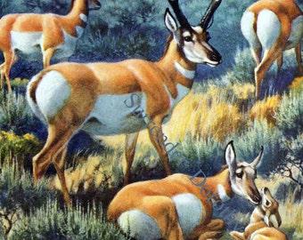 Pronghorn Antelope Family Walter Weber Vintage Natural History Illustration To Frame 1942