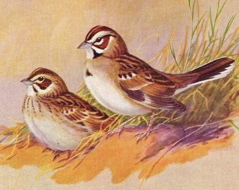 Sparrows By Allan Brooks 1955 Mid Century Print  Wild Bird Lithograph Illustration To Frame