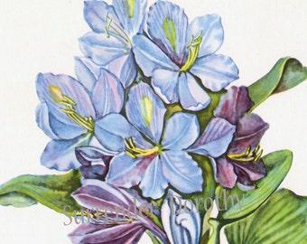 Blue Water Hyacinth Flower Vintage 1950s Botanical Lithograph Art Print To Frame 10