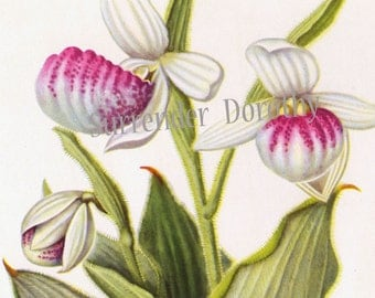 Fancy Lady's Slipper Moccasin Flower Vintage Botanical Lithograph Print North American Wildflower To Frame 35
