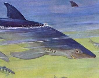 Blue Shark Natural History Edwardian Era 1911 Lithograph Illustration Germany For Framing
