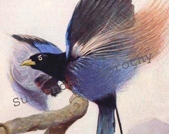 Blue Bird of Paradise Edwardian Era 1911 Natural History Lithograph Illustration Germany To Frame