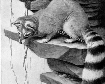Ring-Tailed Civet Cat Vintage Louis Agassiz Fuertes Illustration 1950s Natural History To Frame