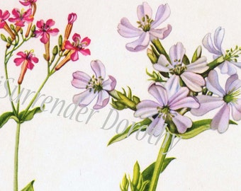 Sweet William Catchfly Bouncing Bet Flowers Vintage Botanical Lithograph 1950s Print To Frame 47