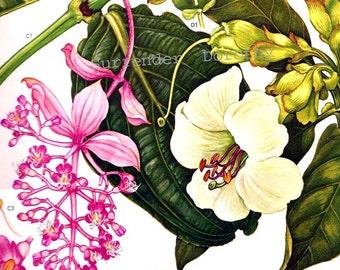 Oleander Flowers Plants South East Asia Botanical Exotica Large Vintage Illustration To Frame 121