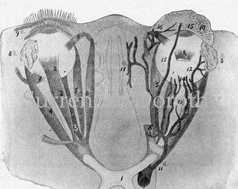 View Of The Eyeballs Human Eye Anatomy Vintage Vision Chart For Framing 1920 Black & White