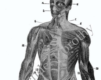 Human Anatomy Muscle Man Anterior Frontal View Medical Chart To Frame 1920s Original