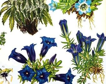 Flowering Campanula & Gentians Himalayas China Botanical Exotica Large Vintage Illustration To Frame 97
