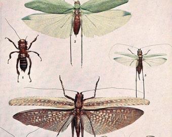 Locusts Crickets Orthoptera Insect Chart Entomology Vintage Natural History Rotogravure 1907 Edwardian Era Illustration To Frame XXXV