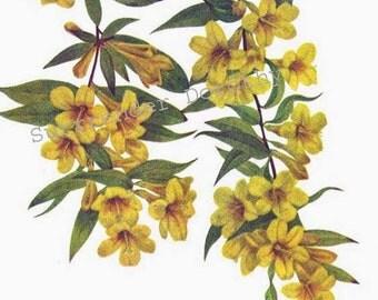 Carolina Jasmine Flowers Vintage 1955 Botanical Herbal Lithograph Art  Print To Frame 295