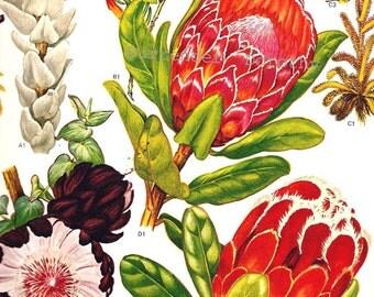 Proteaceae Flowering Plants South African Botanical Exotica Poster Print 1969 Large Vintage Illustration To Frame 75