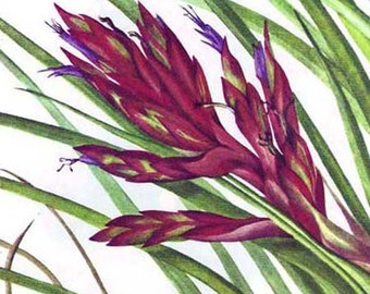 Tillandsia Air Plant  Flowers Vintage 1955 Botanical Lithograph Art  Print To Frame 22