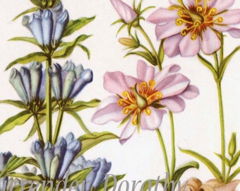 Marsh Pink & Ague Flower Vintage Botanical Lithograph 1950s Print To Frame156