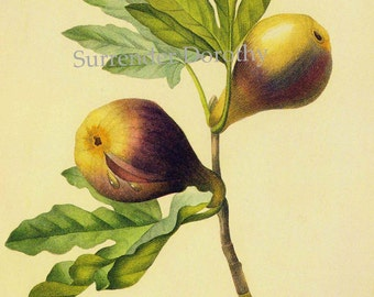 Mediterranean Fig Ficus Carica Redoute Vintage Fruit Botanical Lithograph Agriculture Print To Frame 144