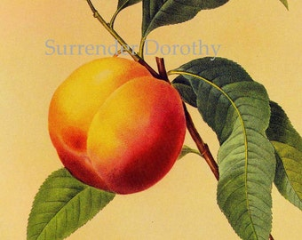 Sweet Peach Prunus Persica Redoute Vintage Fruit Botanical Lithograph Print To Frame 138