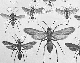 Wasp Chart Edwardian Entomology 1907 Natural History Rotogravure Illustration Of Insects To Frame VII