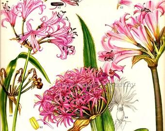 Hot Pink Wild Amaryllis Flower Specimens Of South Africa Botanical Exotica 1969 Large Vintage Illustration To Frame 86