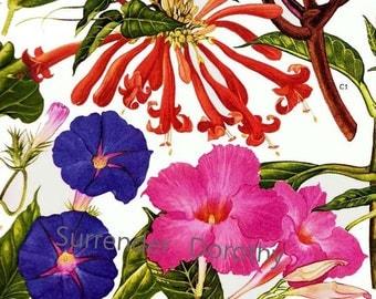 Mandivilla Fragripani Trumpet Flower Central South America Botanical Exotica 1969 Vintage Illustration To Frame 180