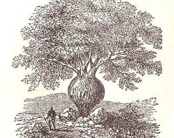 Australian Plants Eucalyptus Cinnamon Clove Bottle Tree Engraved Botancal Chart Antique Illustration 1906 Edwardian Era
