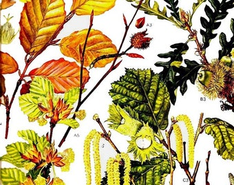 Hazelnut Beech Oak Birch Flowers Poster Botanical Exotica Trees Of Europe 1969 Large Vintage Illustration To Frame 12