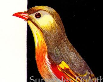 Pekin Nightingale 1954 Orthithology Vintage Mid Century Print Wild Bird Lithograph Illustration To Frame